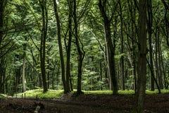 绿色树鬼的神秘的森林背景,美丽的景色新鲜的杉树和地板在德国欧洲 库存图片