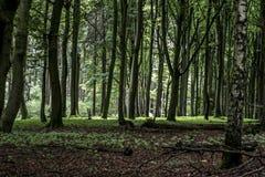 绿色树鬼的神秘的森林背景,美丽的景色新鲜的杉树和地板在德国欧洲 图库摄影