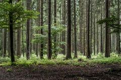 绿色树鬼的神秘的森林背景,美丽的景色新鲜的杉树和地板在德国欧洲 免版税库存图片