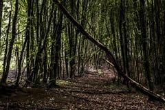 绿色树鬼的神秘的森林背景,美丽的景色新鲜的杉树和地板在德国欧洲 库存照片
