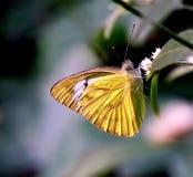 黄色树蝴蝶 免版税库存图片