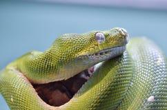 绿色树Python 11 库存照片