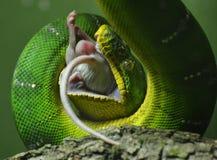 绿色树Python 免版税库存照片