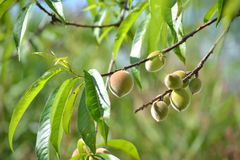 绿色桃子 免版税库存图片