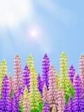 黄色桃红色和紫色羽扇豆开花与晴朗的蓝天背景和太阳光芒 库存照片