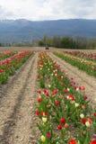 黄色桃红色郁金香在庭院里在手中 库存图片