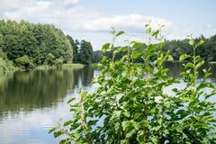 绿色桤木的大灌木 免版税库存照片
