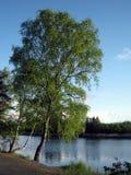绿色桦树 免版税图库摄影
