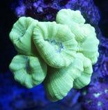 黄色棒棒糖珊瑚 免版税库存图片