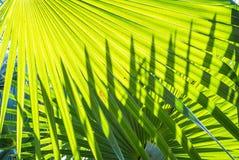 绿色棕榈事假 库存图片