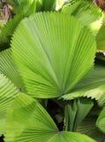 绿色棕榈叶在一个热带庭院里 免版税库存照片