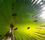 绿色棕榈叶纹理 关闭上色百合软的查阅水 免版税库存图片