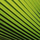 绿色棕榈叶纹理 库存图片