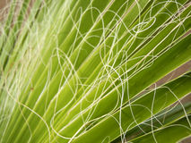 绿色棕榈叶纹理 免版税库存照片