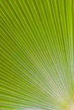绿色棕榈叶- Trithrinax brasiliensis 免版税库存照片