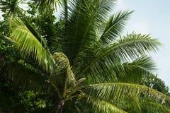 绿色棕榈树叶子用椰子 夏天旅行海边自然照片 免版税库存图片