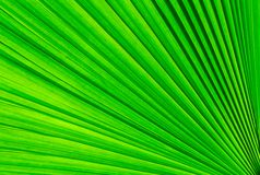 绿色棕榈树叶子 免版税图库摄影