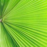 绿色棕榈树叶子 图库摄影