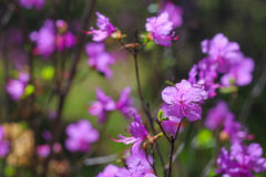 紫色森林花 库存图片