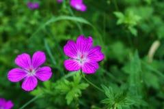 紫色森林花 免版税库存图片