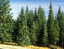 绿色森林 免版税图库摄影