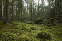 绿色森林 免版税库存图片