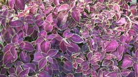 紫色植物叶子纹理 库存图片