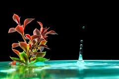 绿色植物在与水飞溅下跌的滴的天蓝色的水中在黑背景的 免版税图库摄影