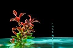 绿色植物在与水飞溅下跌的滴的天蓝色的水中在黑背景的 库存照片