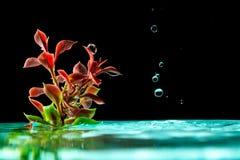 绿色植物在与水飞溅下跌的滴的天蓝色的水中在黑背景的 免版税库存图片