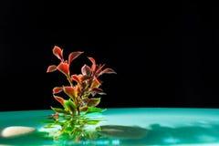绿色植物在黑背景的天蓝色的水中 库存图片