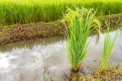 绿色植物米 库存照片
