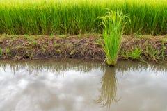 绿色植物米 免版税图库摄影