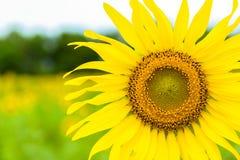 黄色植物群 免版税库存照片