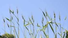 绿色植物麦子 股票视频