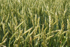 绿色植物麦子 免版税图库摄影