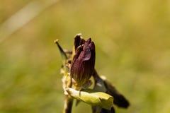 紫色植物Gentiana purpurea 库存图片