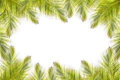 绿色椰子在白色背景留给框架被隔绝 图库摄影
