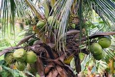 绿色椰子垂悬从棕榈的一束 免版税库存图片