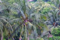绿色椰子树在印地安村庄 免版税图库摄影
