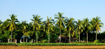 绿色椰子树 图库摄影