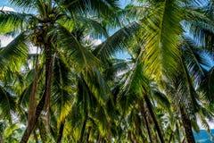 绿色椰子树 库存照片