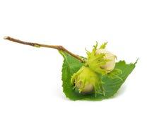 绿色榛子 免版税库存照片