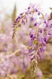 紫色槐 库存照片