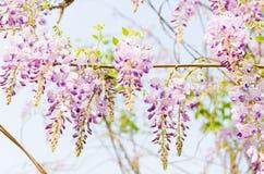 紫色槐 库存图片