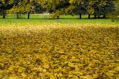 黄色槭树叶子在秋天公园莫斯科 免版税库存照片
