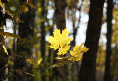 黄色槭树叶子在秋天公园 免版税库存照片