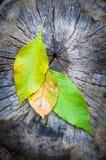 绿色槭树叶子在秋天 库存图片