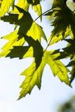 绿色槭树叶子在阳光下 免版税库存照片