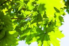 绿色槭树叶子在阳光下 库存照片
